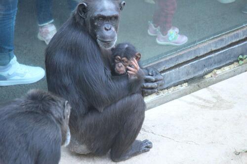 chimp2019_11_011.jpg
