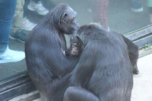 chimp2019_11_012.jpg