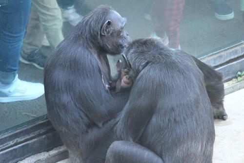 chimp2019_11_013.jpg