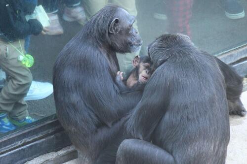chimp2019_11_014.jpg