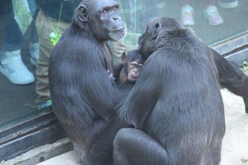 chimp2019_11_016.jpg