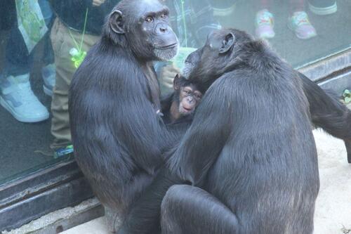 chimp2019_11_017.jpg