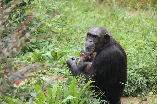 chimp2019_11_018.jpg