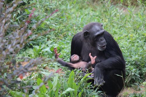 chimp2019_11_019.jpg