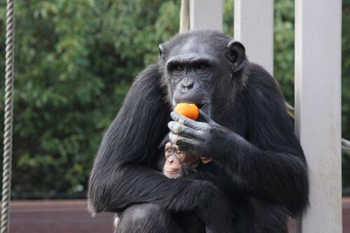 chimp20_01_001.jpg