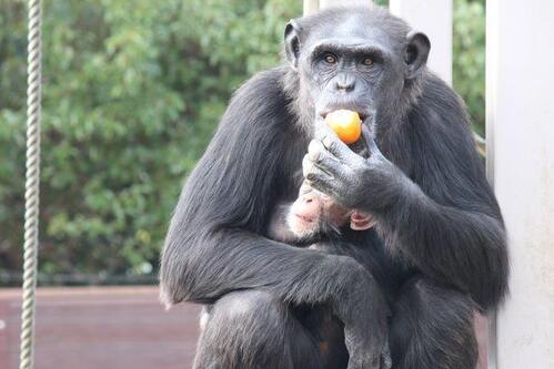 chimp20_01_002.jpg