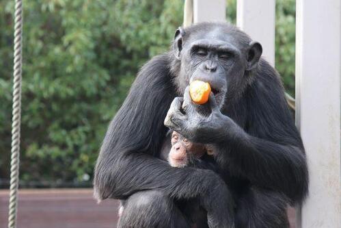 chimp20_01_003.jpg