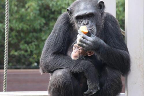 chimp20_01_004.jpg