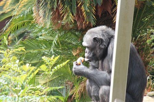 chimp20_01_008.jpg
