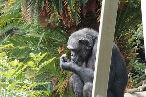 chimp20_01_012.jpg