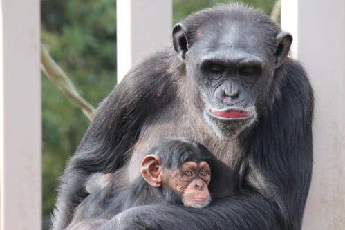 chimp20_01_014.jpg