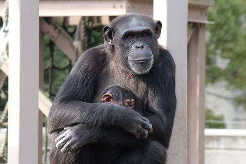 chimp20_01_015.jpg