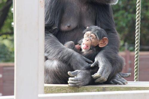 chimp20_01_016.jpg