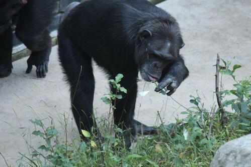 chimp20_03_002.jpg
