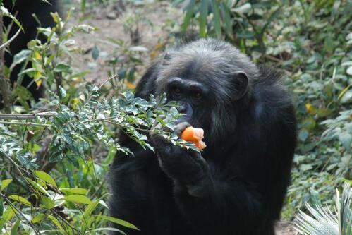 chimp20_03_003_2.jpg
