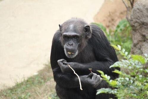 chimp20_03_003.jpg