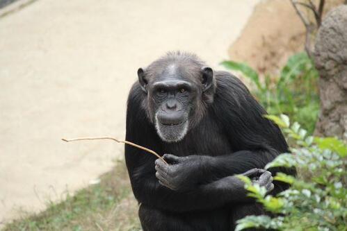 chimp20_03_004.jpg