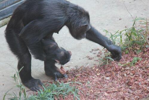 chimp20_03_010.jpg