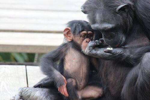 chimp20_03_011.jpg