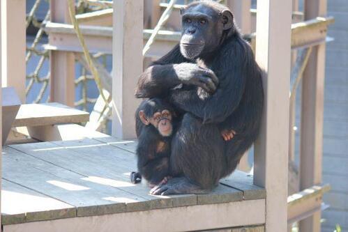 chimp20_03_015.jpg