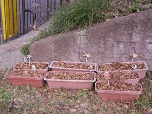 p-ドングリの苗木を作ろう 111219⑪.jpg