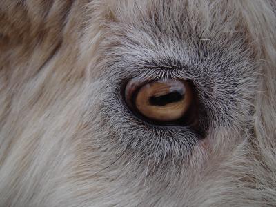 ヤギの画像 p1_34