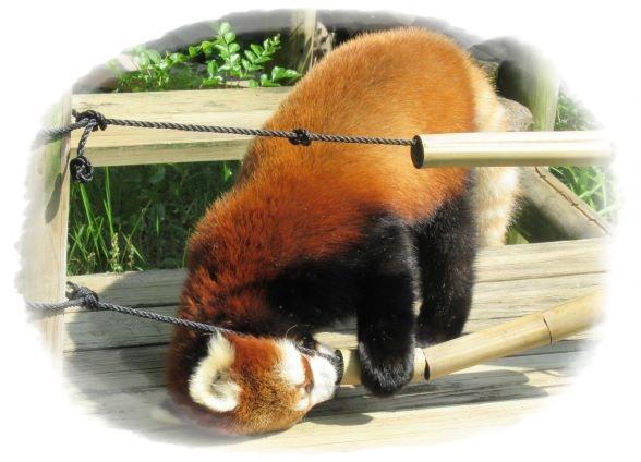 20210620_動物の幸せを考える_レッサーパンダ編_2.jpg