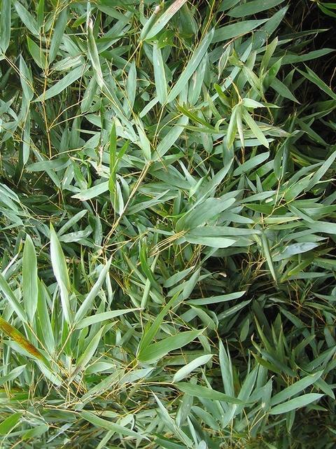 モウソウチクの葉