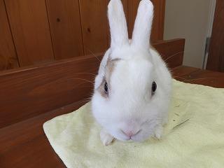 カイウサギ