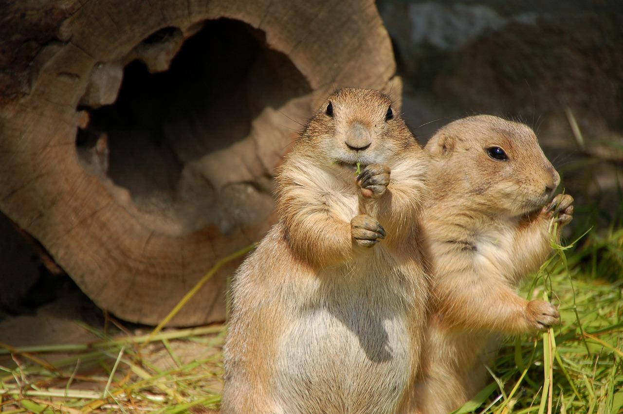 プレーリードッグ|到津の動物たち|到津の森公園