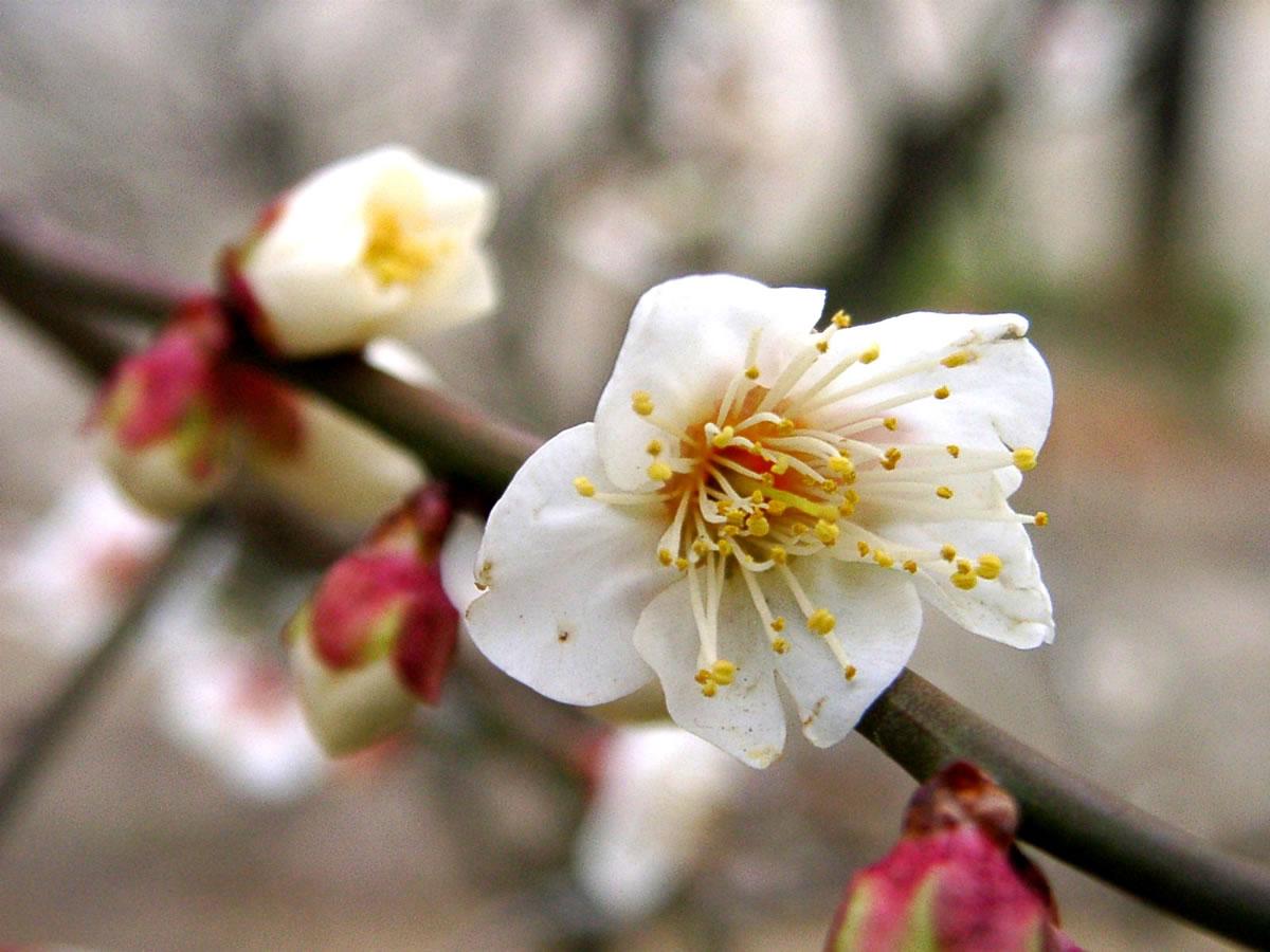 ウメ 花とみどり 到津の森公園